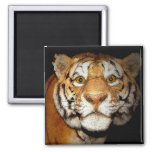 Tiger, Tiger In The Night II Fridge Magnets
