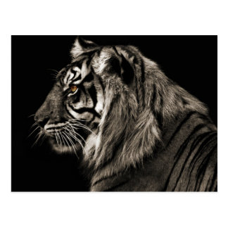 Tiger Tiger Postcard