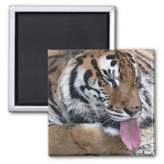 tiger tongue 2 inch square magnet