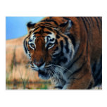 Tiger wading in water postcard