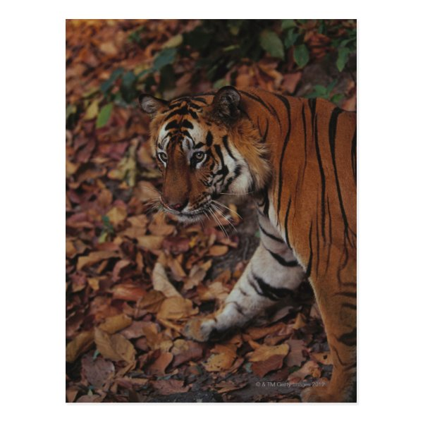 Tiger Walking on Dead Leaves Postcard