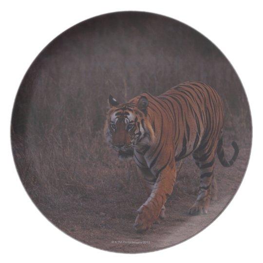 Tiger Walks along Trail Dinner Plate
