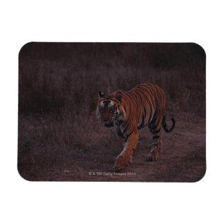 Tiger Walks along Trail Rectangular Photo Magnet