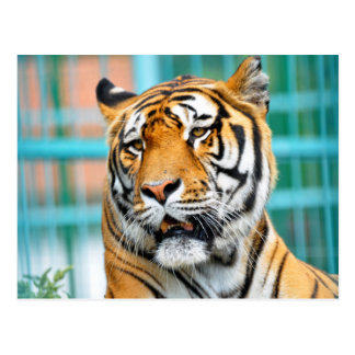 tiger wild animal portrait postcard