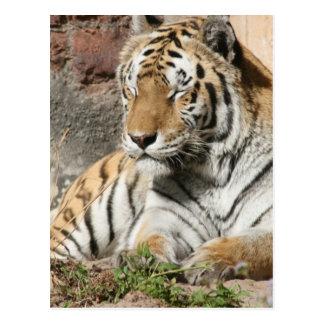 tiger wild animal zoo tigers postcard