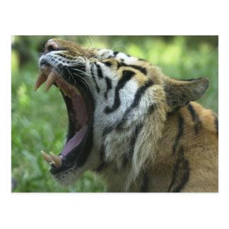 tiger yawn post cards