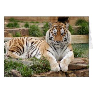tigers-4-8 card