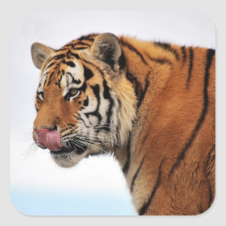 Tigers appetite square sticker