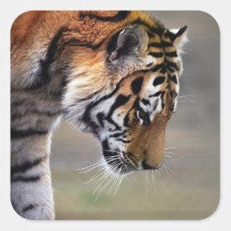 Tigers descent square sticker