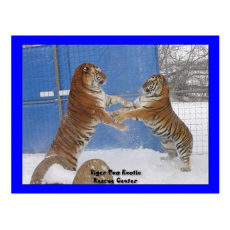 Tigers In The Snow Postcard