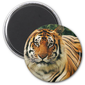 Tigers in the Wild Photos - Cards, Tees, Gifts Magnet