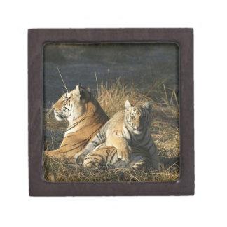 Tigers (Panthera tigris) cub lying on his Jewelry Box