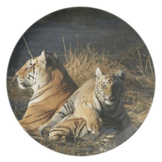 Tigers (Panthera tigris) cub lying on his Party Plates