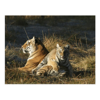 Tigers (Panthera tigris) cub lying on his Postcard