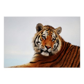Tigers side glance poster