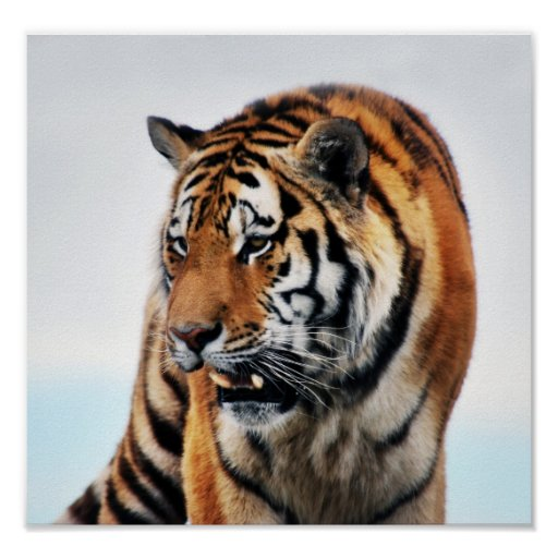Tigers wild life poster