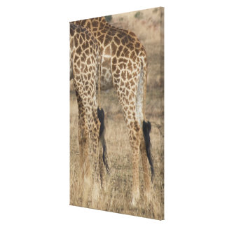 Tight crop of two Giraffes (Giraffa Canvas Print