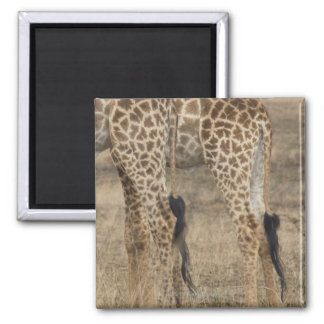 Tight crop of two Giraffes (Giraffa Magnet