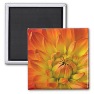Tight in photographs of Dalhia flower with the Magnet