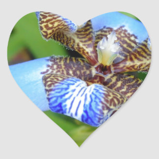 Tigrada blue flower