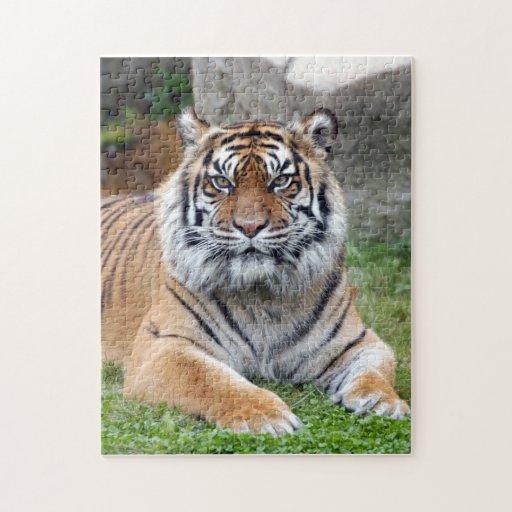 tigre 10 del sumatran puzzle