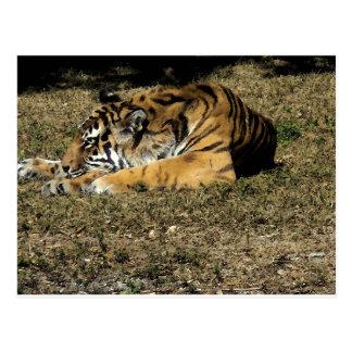 Tigre (acuarela) postal