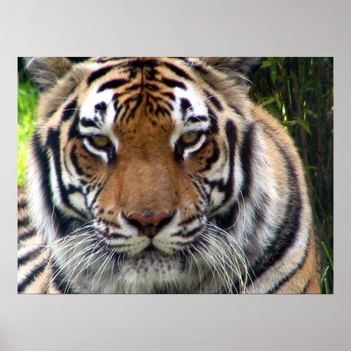 Tigre - ascendente y personal cercanos póster