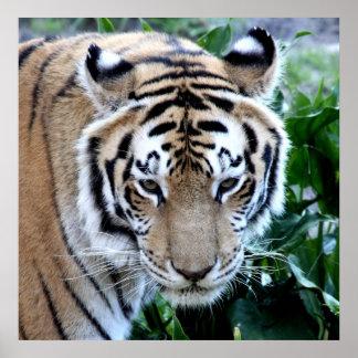 Tigre asiático poster