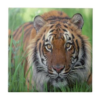 Tigre Azulejo Cuadrado Pequeño