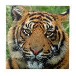 Tigre Azulejos Ceramicos