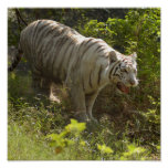 Tigre blanco 009 impresiones