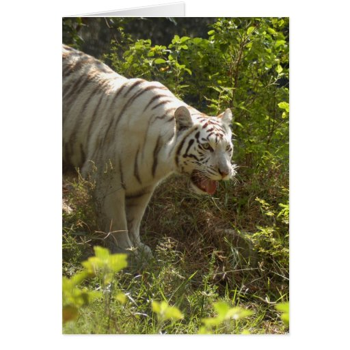 Tigre blanco 009 tarjeta de felicitación