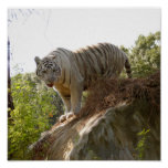 Tigre blanco 013 posters
