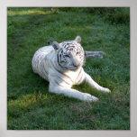 Tigre blanco 017 poster