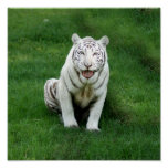 Tigre blanco 018 impresiones