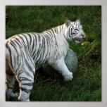 Tigre blanco 019 impresiones