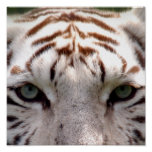 Tigre blanco 100 impresiones