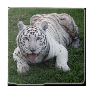 tigre blanco 1 11x11 azulejo cuadrado pequeño