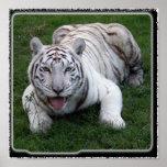 tigre blanco 1 11x11 poster