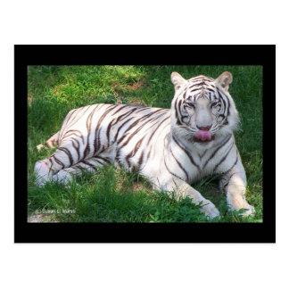 Tigre blanco con los ojos azules que lame la nariz postal