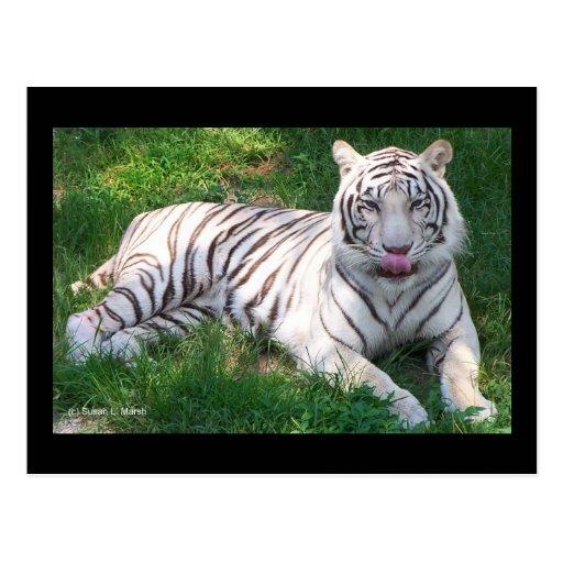 Tigre blanco con los ojos azules que lame la nariz tarjeta postal