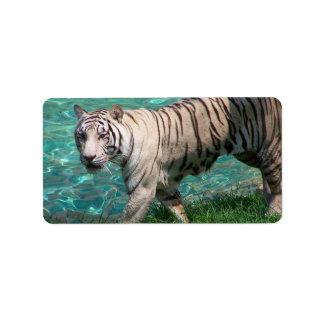 Tigre blanco contra la fotografía que camina del a etiquetas de dirección