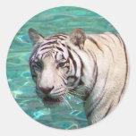 Tigre blanco contra la fotografía que camina del pegatina redonda