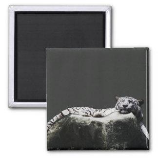 Tigre blanco de la nieve - el dormir del gato imán cuadrado