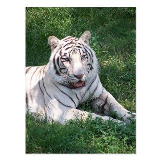Tigre blanco en imagen vertical del marco de la hi tarjetas postales