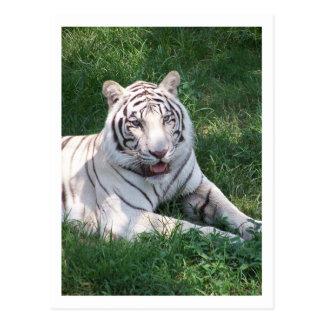 Tigre blanco en imagen vertical del marco de la hi tarjeta postal
