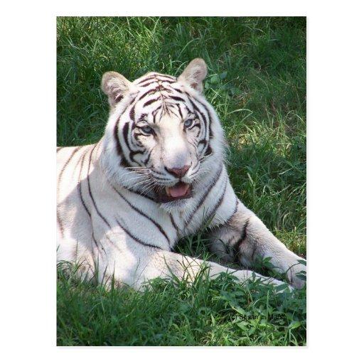 Tigre blanco en imagen vertical del marco de la hi postales