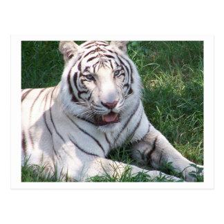Tigre blanco en imagen vertical del marco de la postal