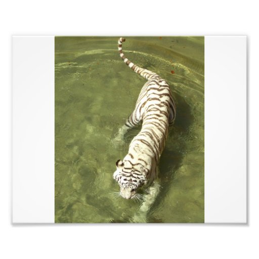 Tigre blanco fotografía