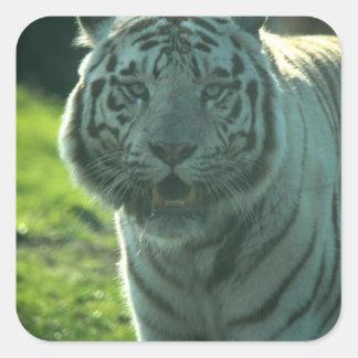 Tigre blanco hermoso calcomania cuadrada personalizada